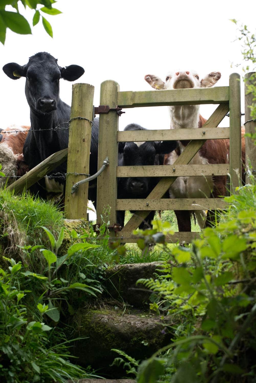 Cornish cows